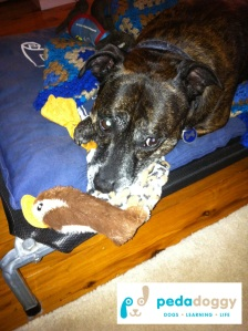 Invest in some new chew toys to entertain a dog that has to take time out from exercise due to an injury. Zac loves those that squeak - this is a stuffling-free duck being given a test drive.