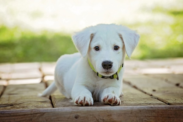 A very young puppy looking at the camera